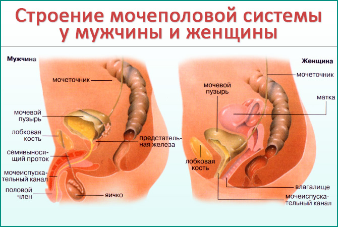 Мочеполовая система мужчины и женщины