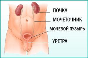 Мочевыделительная система мужчины