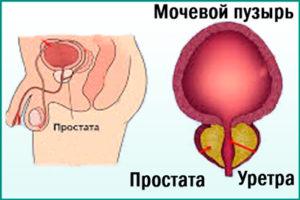 Предстательная железа у мужчин