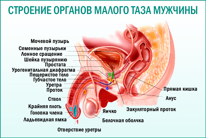 Органы малого таза мужчины