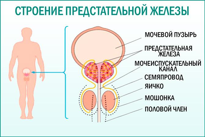 Предстательная железа. Строение