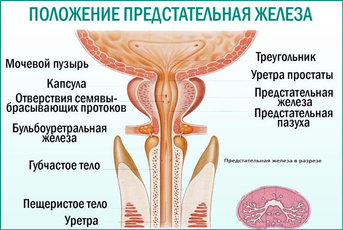 Где находится простата у мужчин