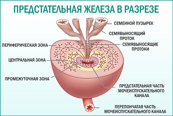 Простата в разрезе