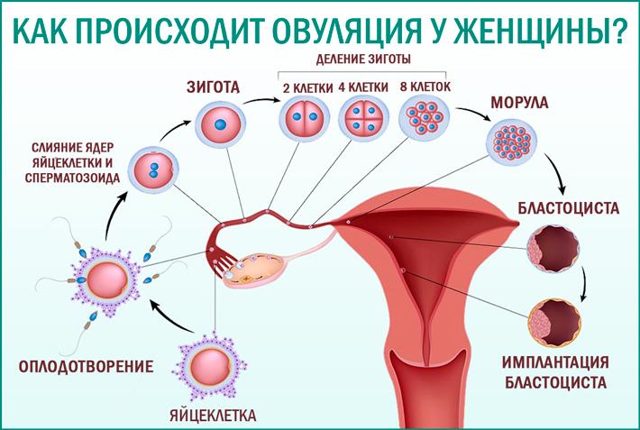 Что такое овуляция у женщины?