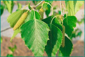 Листья березы в народной медицине