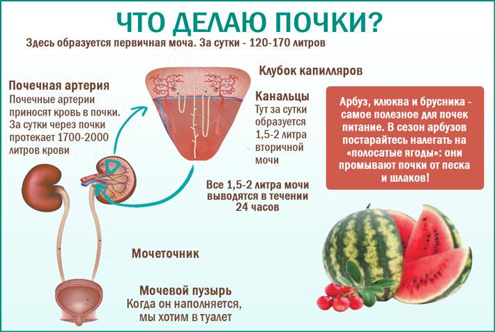 Что делают почки в организме?