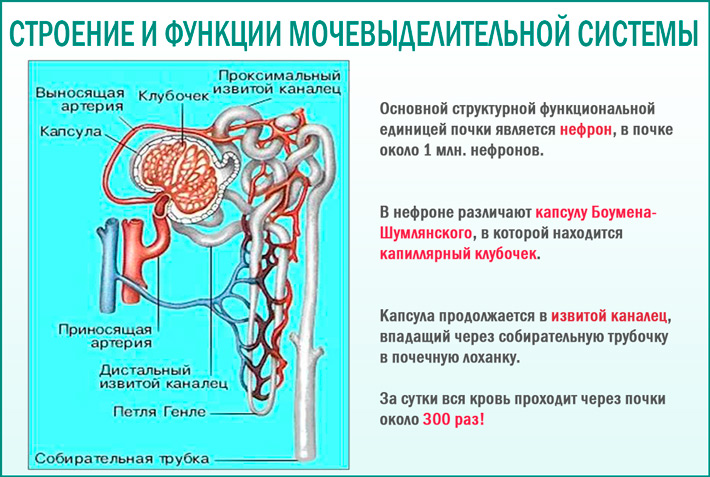 Cтроение и функции мочевыделительной системы