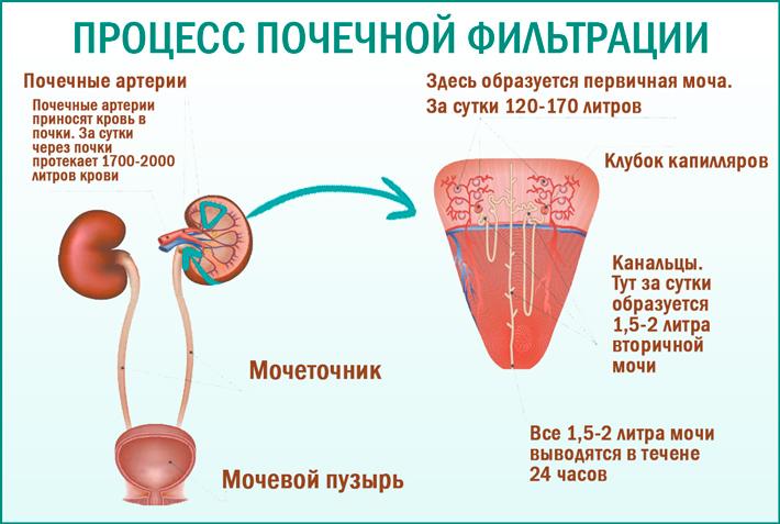 Процесс почечной фильтрации: клубочковая фильтрация