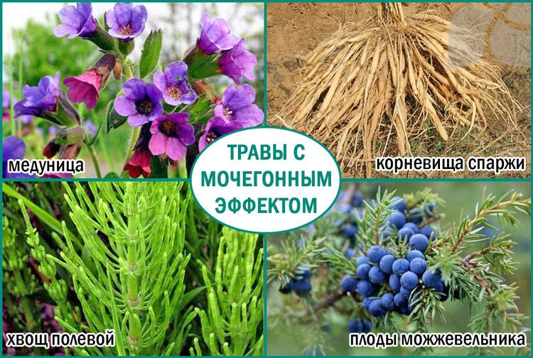 Травы с мочегонным эффектом