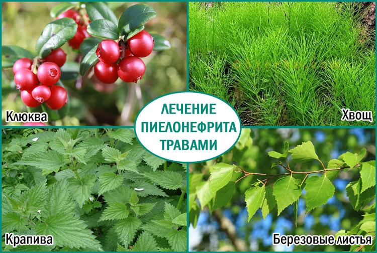 Травы для лечения пиелонефрита
