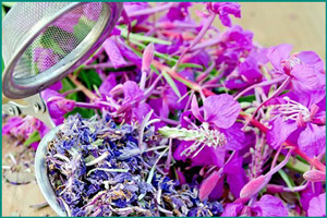 Иван-чай: лекарственное растение
