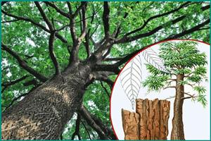 Полезные свойства дерева йохимбе