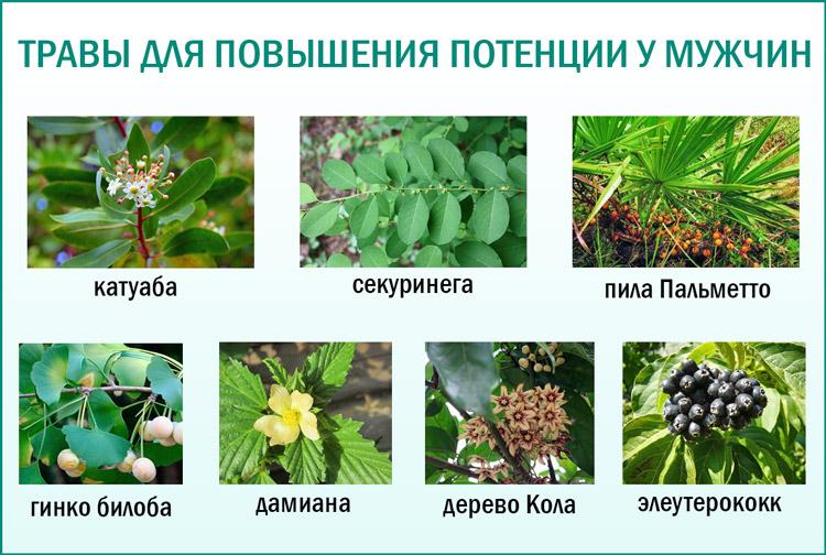 Лекарственные травы травы для повышения потенции