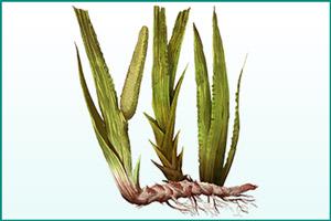 Лекарственное растение: аир болотный