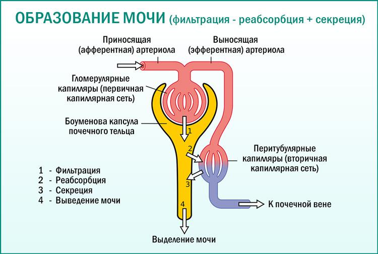 Механизм образования мочи