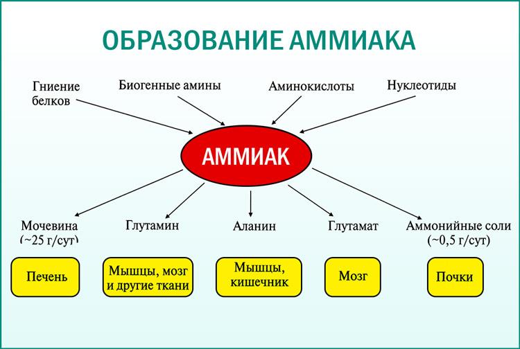 Пути образования аммиака